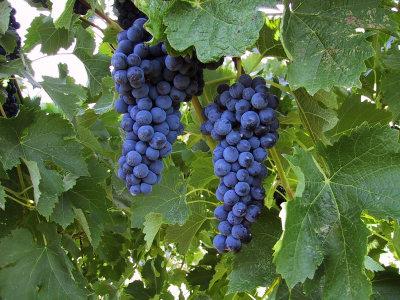 How Did Grenache Get to the Island of Sardegna?